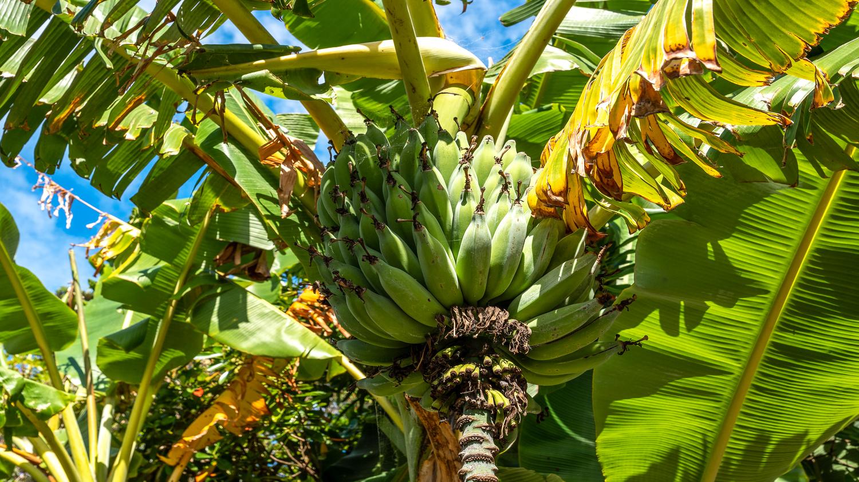 9._Baywatch_-_banana_palm_close_up_1500x843.jpg